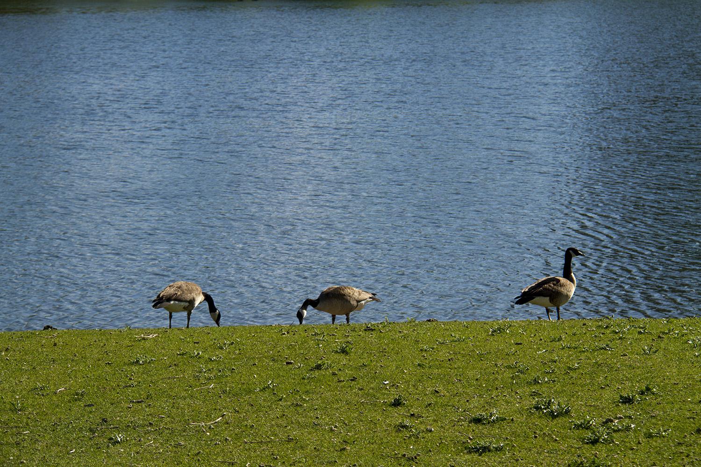 Scenes from City Park.  ciytscape; skyline; city park; lake; goose; geese; denverite; denver; colorado; kevinjbeaty