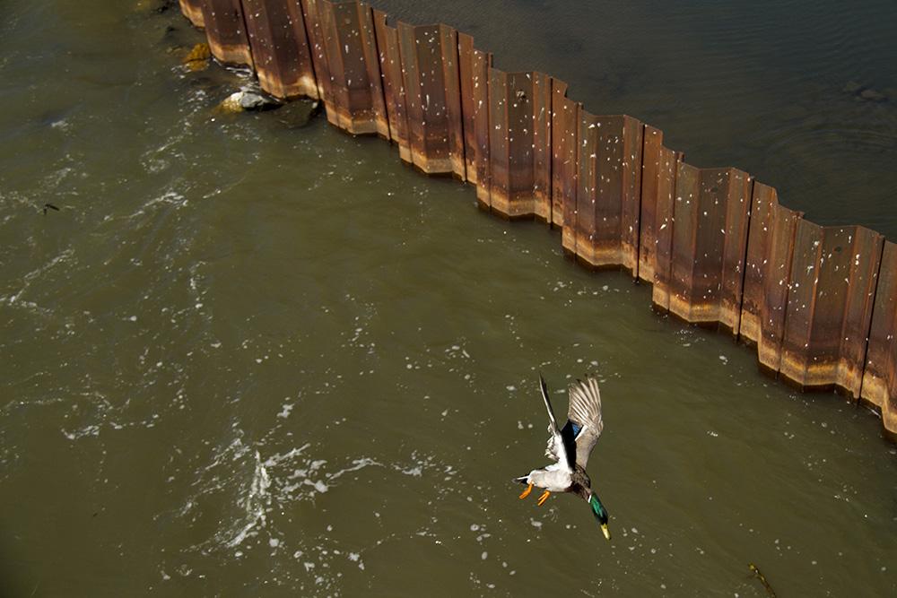 A duck swoops over the South Platte at Confluence Park. (Kevin J. Beaty/Denverite)  confluence park; platte; cherry creek; animals; kevinjbeaty; denver; denverite; colorado;