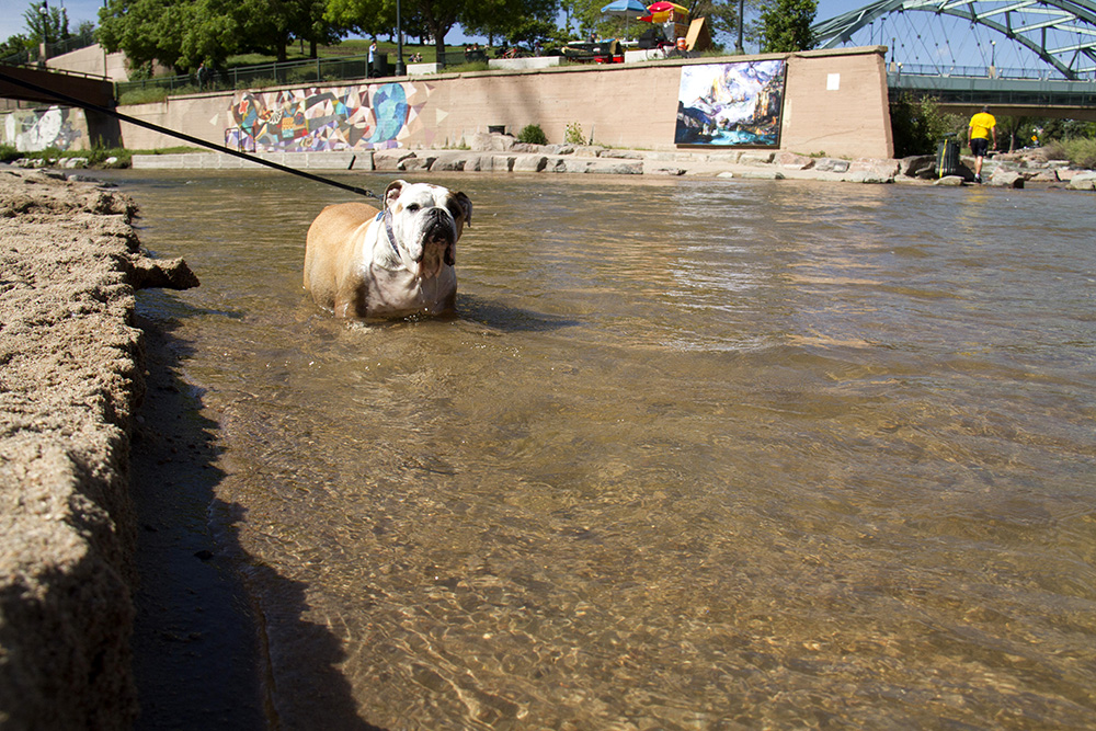 A bulldog cools off in the Cherry Creek at Confluence Park. (Kevin J. Beaty/Denverite)  confluence park; platte; cherry creek; animals; kevinjbeaty; denver; denverite; colorado;