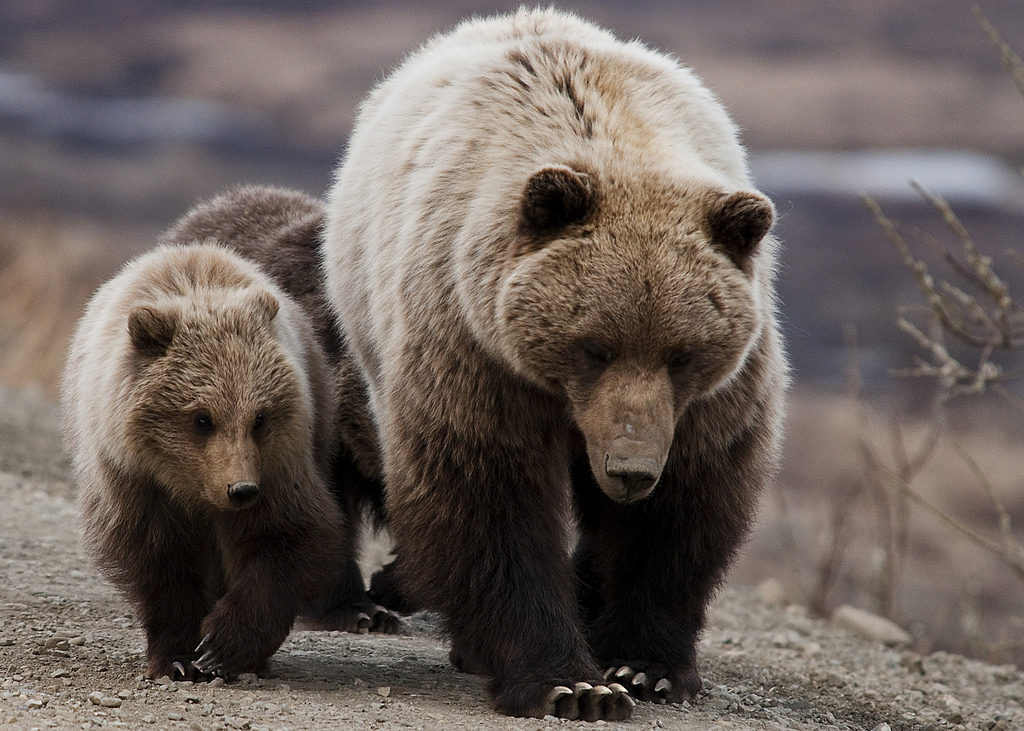 Grizzly bears. (National Park Service)