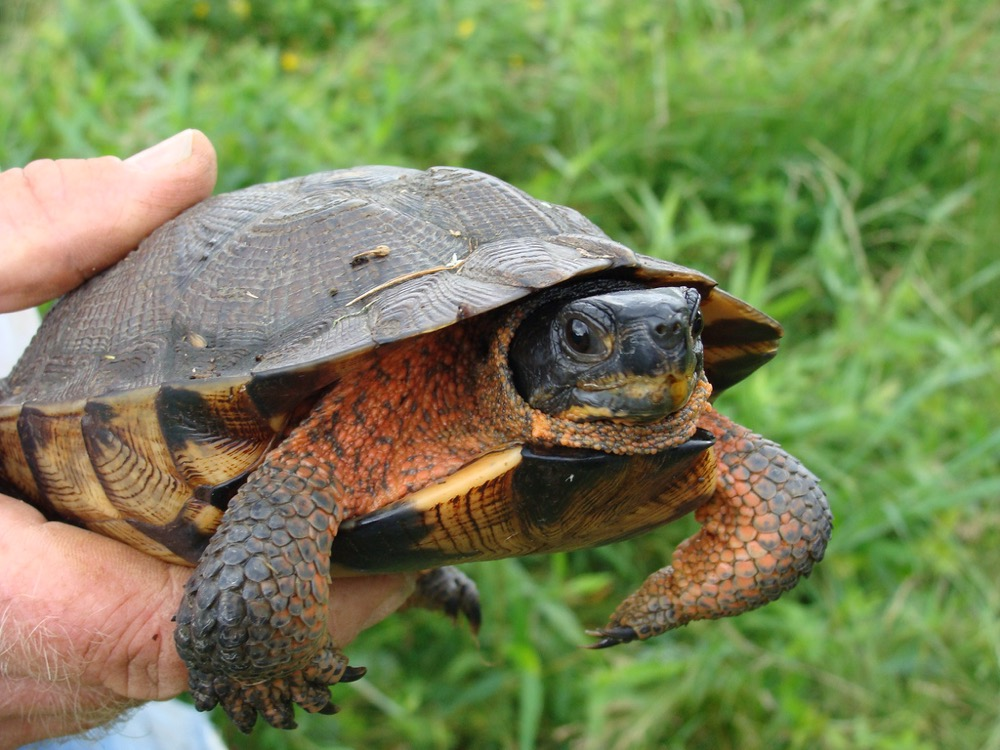 It's a wood turtle (Courtesy U.S. Fish and Wildlife Service)