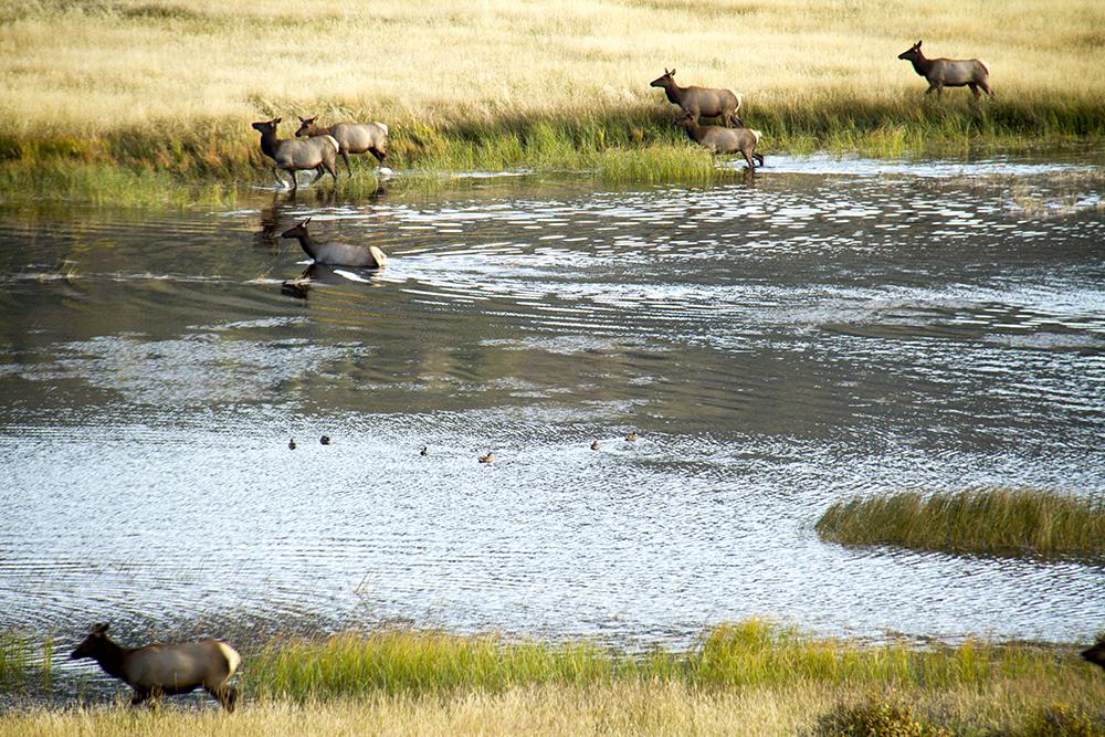 Elk at Elk Meadows, Rocky Mountain National Park. (Kevin J. Beaty)  rocky mountain national park; rmnp; wilderness; kevinjbeaty; denverite; colorado;