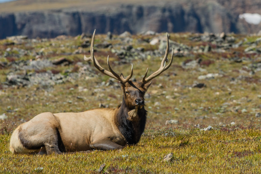 A bull elk rests in Colorado. (Andrew E. Russell/Flickr)