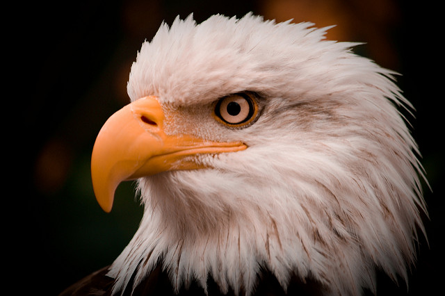 Bald eagle. America. (andrewngo1760/Flickr)