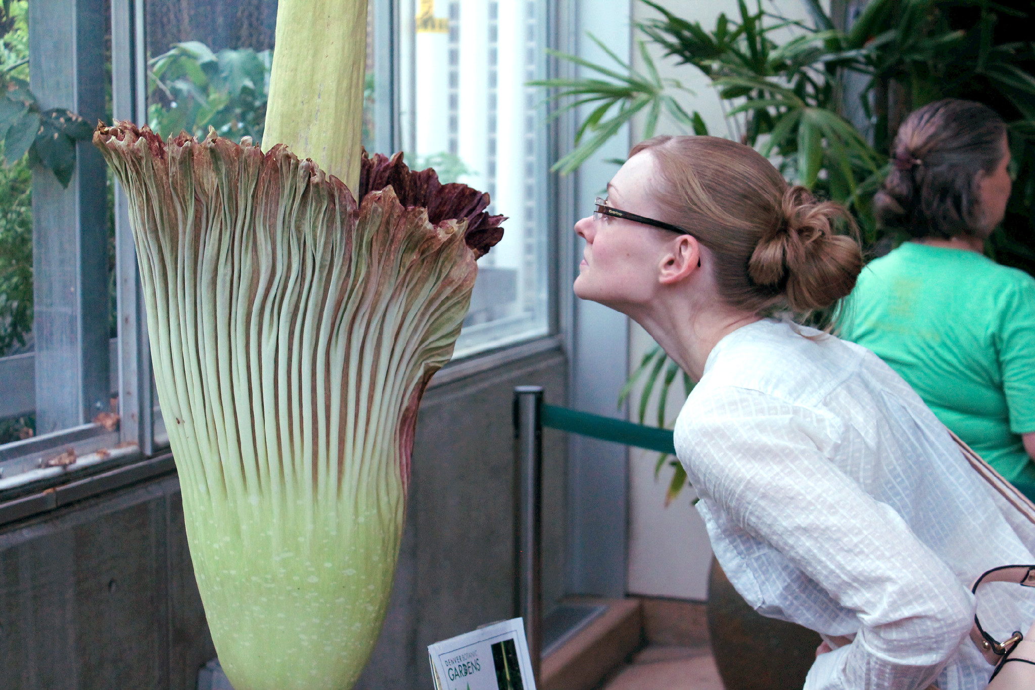 Little Stinker, one of the Denver Botanic Gardens' corpse flowers, is in bloom Aug. 6, 2016. (Ashley Dean/Denverite)