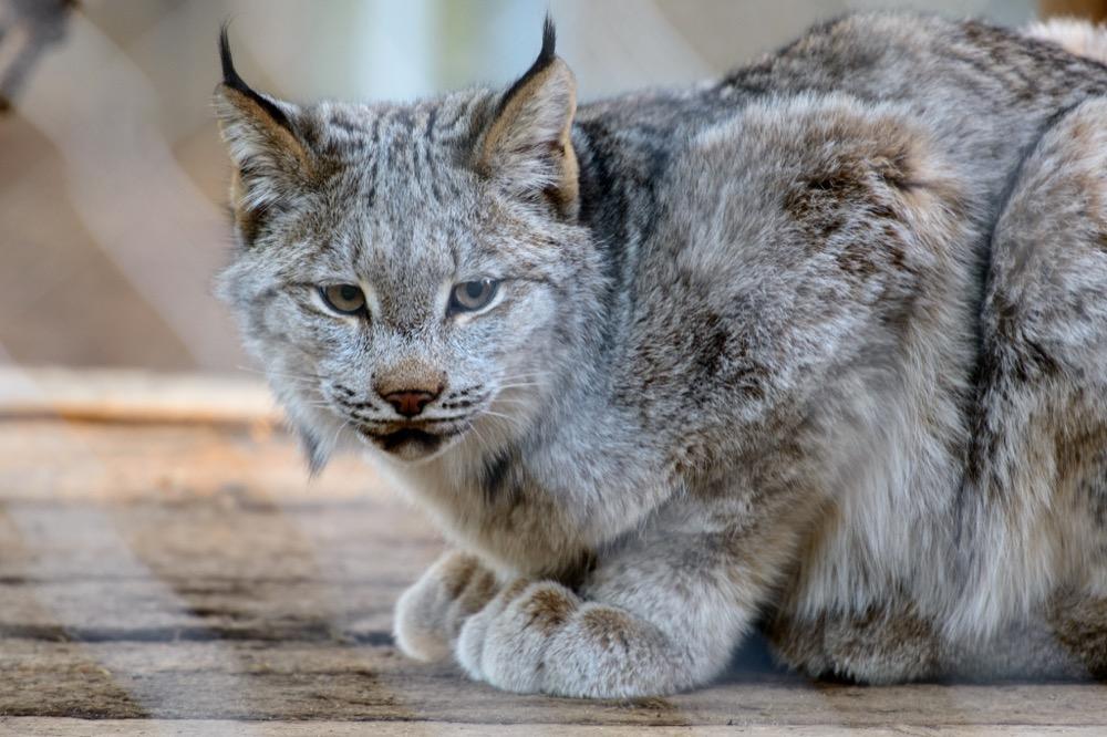 Meow, baby. I'm a Canada lynx. (Eric Kilby/Flickr)