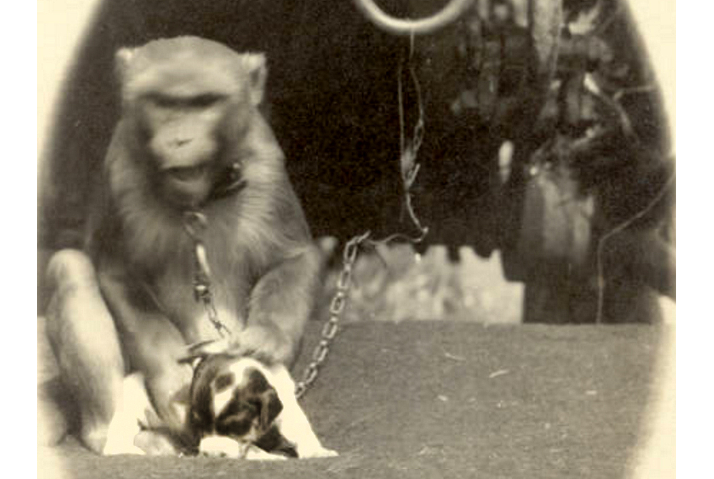 A monkey and puppy, with the Sells Floto Circus and Buffalo Bill's Wild West Show, sit on the ground next to each other. The monkey rests its hand on the head of the puppy. The monkey wears a chain around its neck connected to a ring on the bottom of a circus trailer. Between 1910 and 1917. (Denver Public Library/Western History Collection/Z-7434)  circus; historic; denver public library; dpl; archive; archival; denverite