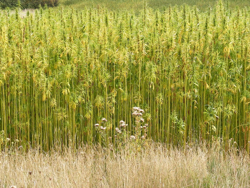 https://commons.wikimedia.org/wiki/File:Hemp_Crop_in_Peasenhall_Road,_Walpole_-_geograph.org.uk_-_1470339.jpg