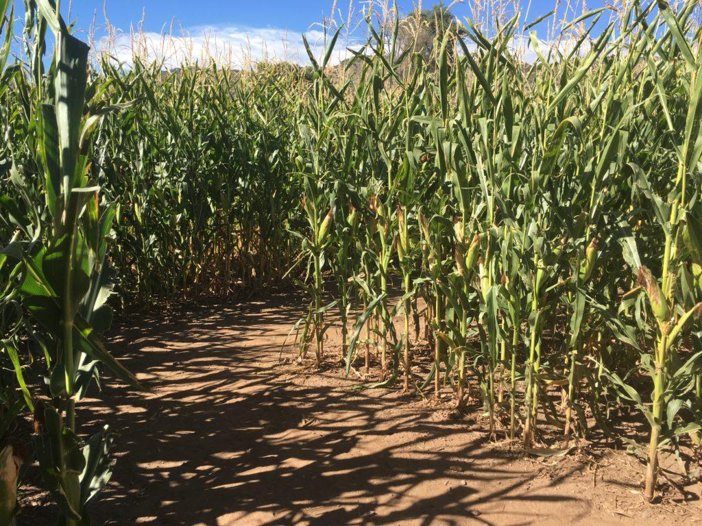 The mini corn maze at Chatfield Farms. (Dave Burdick/Denverite)