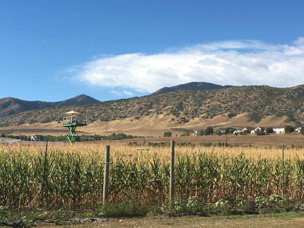An employee mans a crow's nest the corn maze at Chatfield Farms. (Dave Burdick/Denverite)