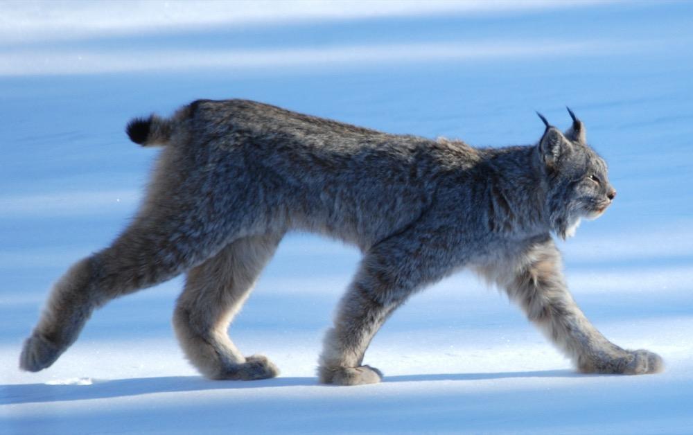Watch me work. I'm a lynx. (Keith Williams/Flickr)