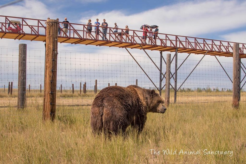 Attendees of The Wild Animal Sanctuary view a rescued bear from the elevated walkway. (Courtesy of The Wild Animal Sanctuary)