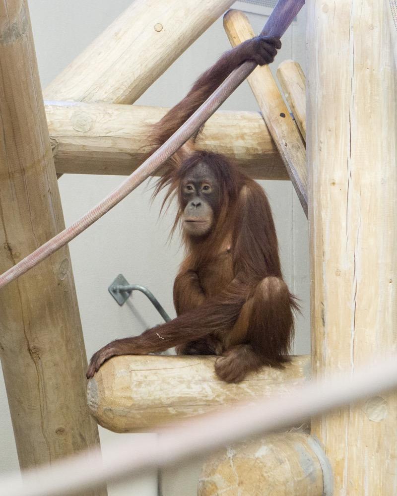 Eirina, a female Sumatran orangutan. (Courtesy of Denver Zoo)