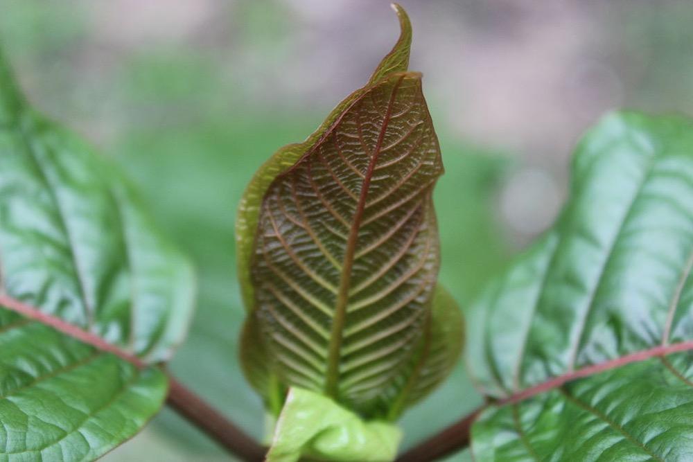 A kratom leaf. (ThorPorre/Wikimedia Commons)