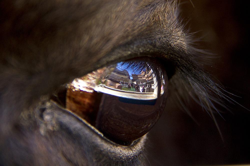 Folsom Field, as seen reflected in Ralphie the mascot's eye. (Kevin J. Beaty/Denverite)  college football; sports; cu; boulder; buffalos; kevinjbeaty; denverite; colorado; ralphie;