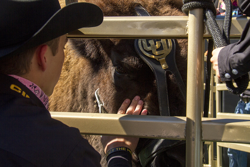 A Ralphie Handler calms the buffalo before she makes her first run of the day. (Kevin J. Beaty/Denverite)  college football; sports; cu; boulder; buffalos; kevinjbeaty; denverite; colorado; ralphie;