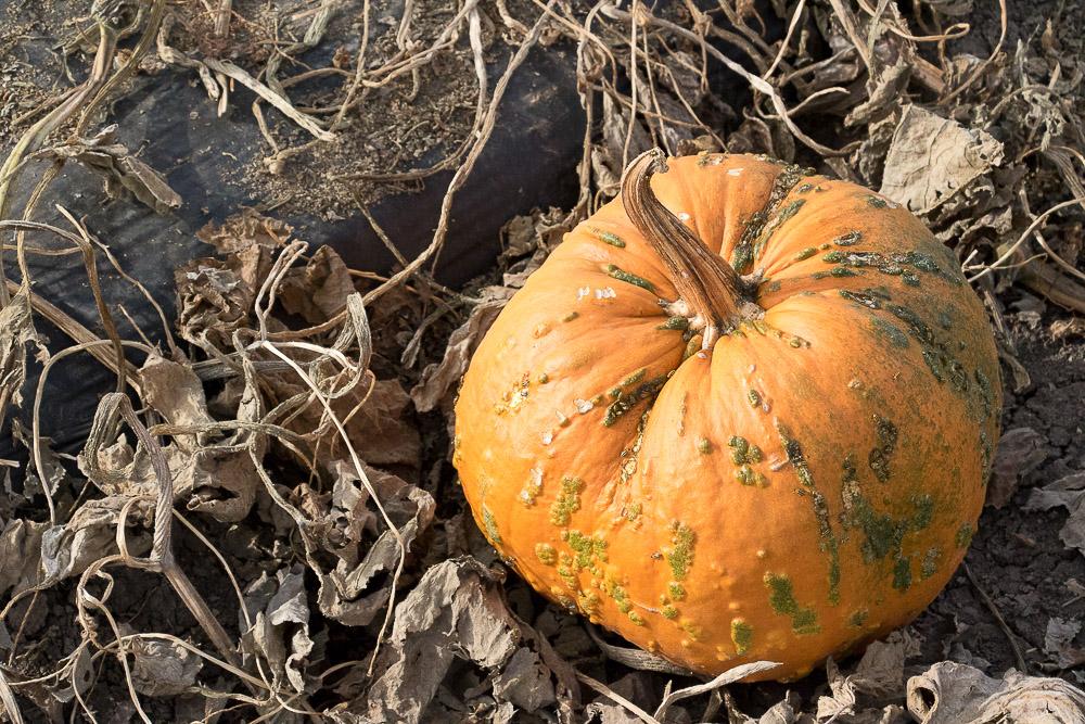 This incredibly aesthetic pumpkin. (Chloe Aiello/Denverite)