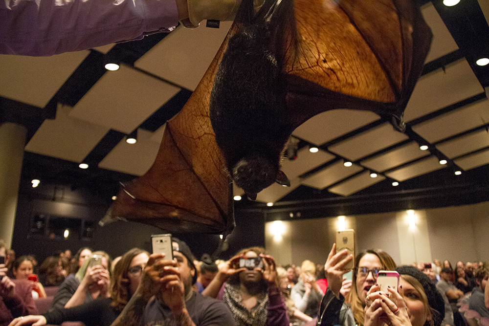 Rob Mies holds Camilla, the megabat flying fox (Pteropus) at the Denver Museum of Nature and Science. (Kevin J. Beaty/Denverite)  dmns; denver museum of nature and science; bats; biology; kevinjbeaty; denver; colorado;
