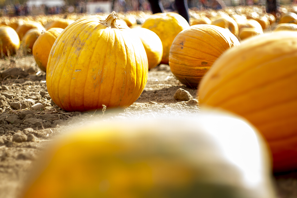 The Cottonwood Farm pumpkin patch in Boulder. (Kevin J. Beaty/Denverite)