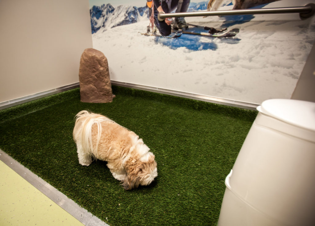 A dog inspects one of the new pet relief areas in Denver International Airport. (Courtesy of DIA)