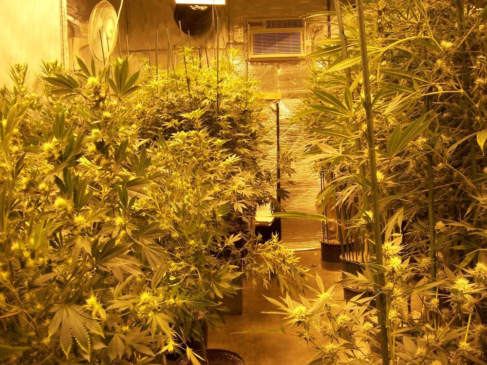 A marijuana home grow in Denver. (Courtesy of the Denver Police Department)
