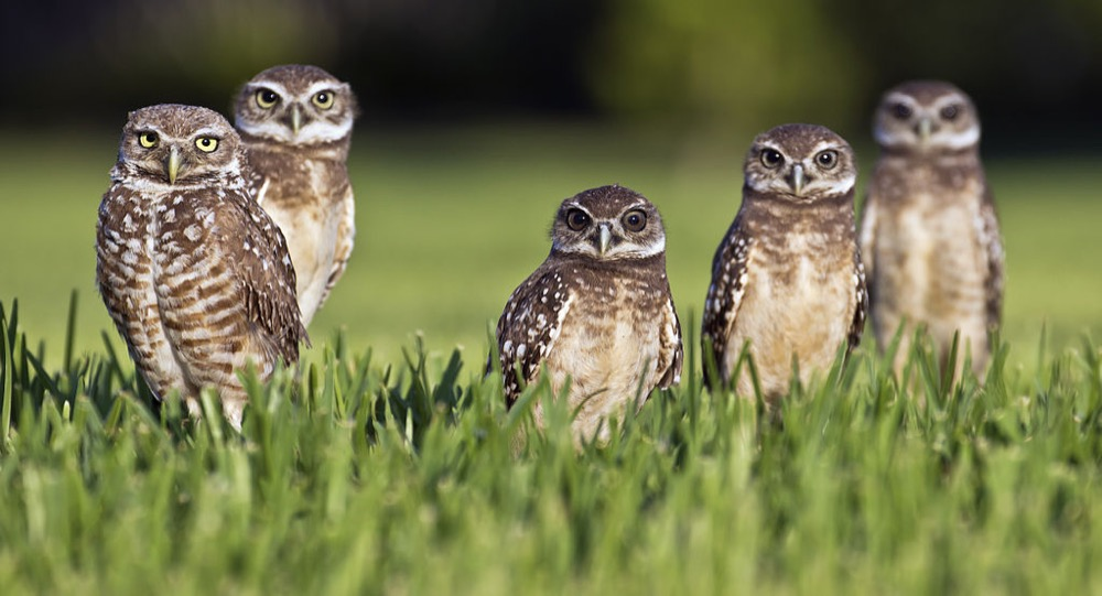 What's up, fam? Burrowing owls. (travelwayoflife/Wikimedia Commons)