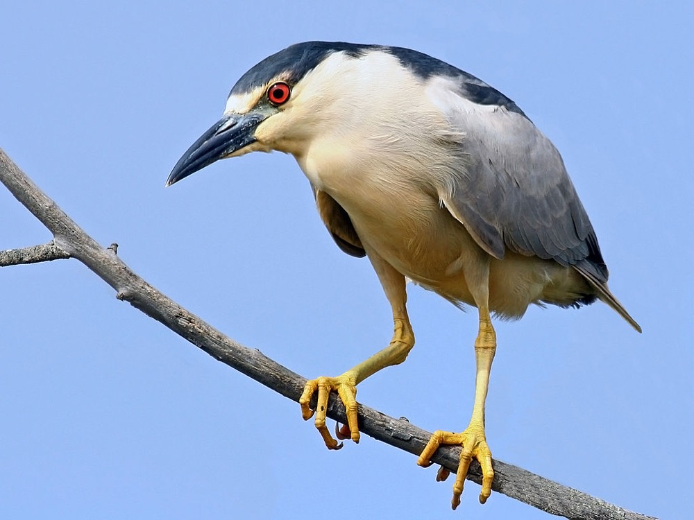 A black-crowned night heron. (Mike Baird/Wikimedia Commons)