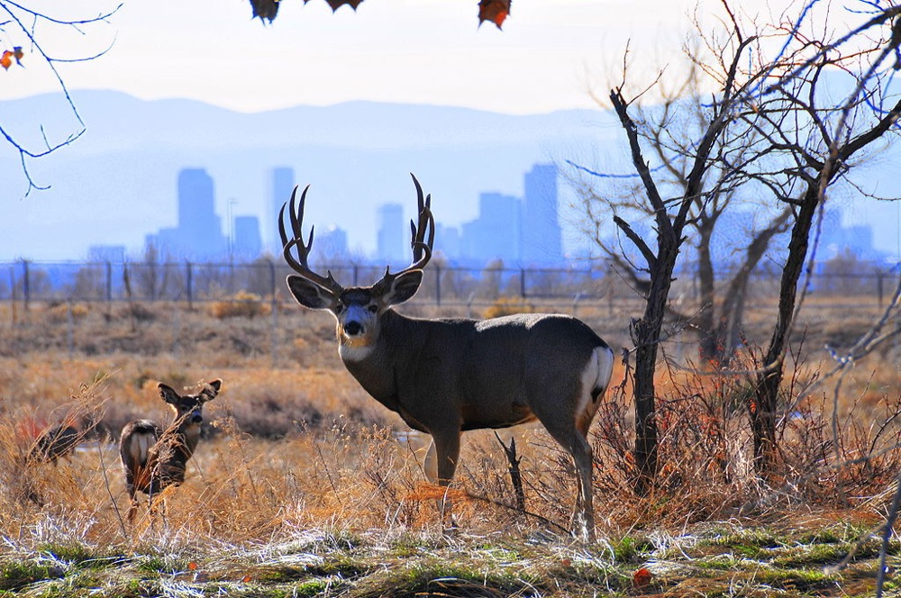 A mule deer in front of the downtown Denver skyline. (Oborseth/Wikimedia Commons)