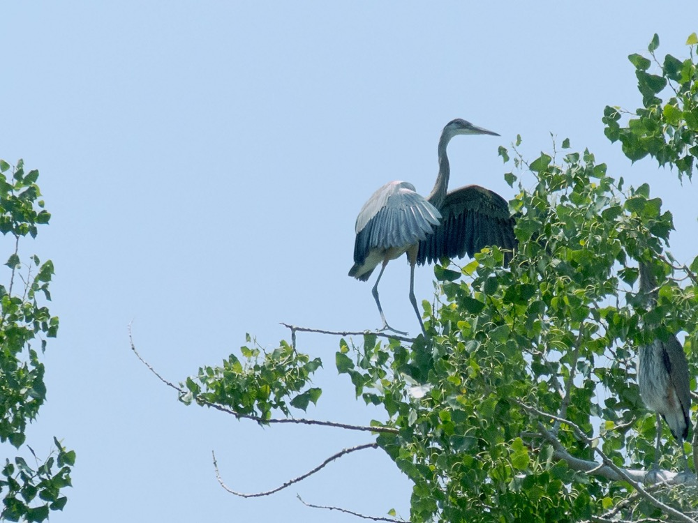 A great blue heron juvenile in Broomfield. (nature80020/Flickr)