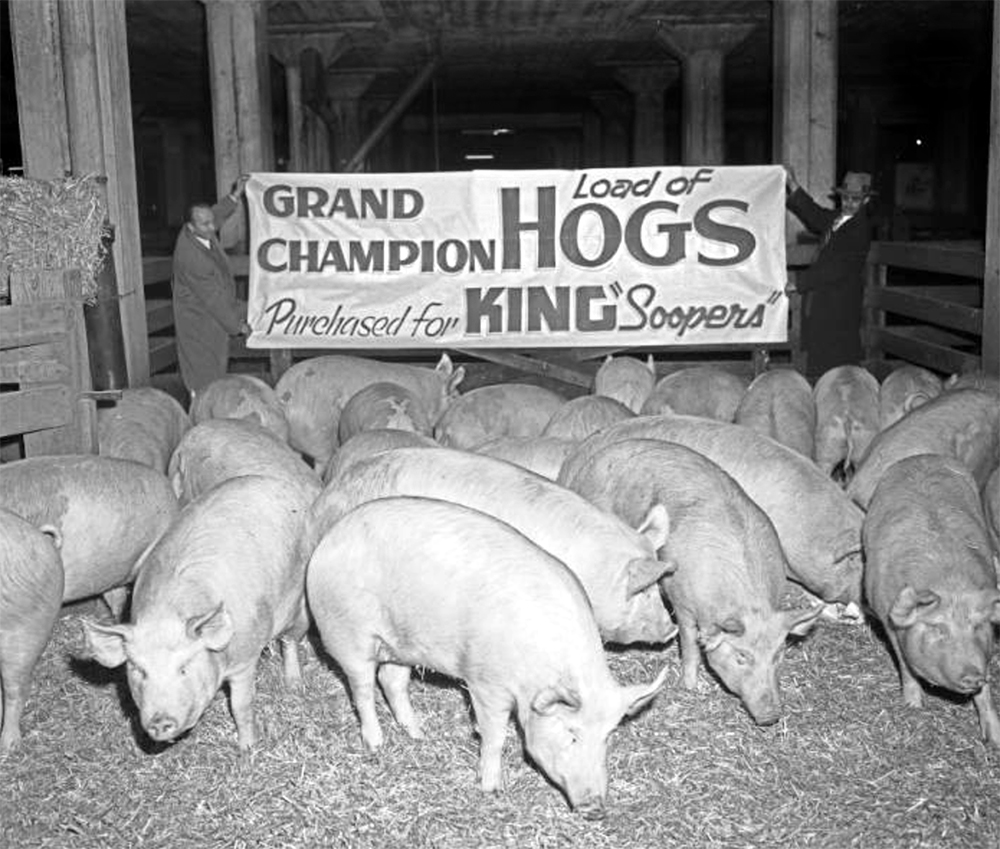 Pigs stand in a pen at the National Western Stock Show at the Denver Stock Yards in Denver, Colorado. Between 1948 and 1955. (Lloyd Rule/Denver Public Library/Western History Collection/Z-10240)  history colorado; historic; denver public library; dpl; archive; archival; denverite