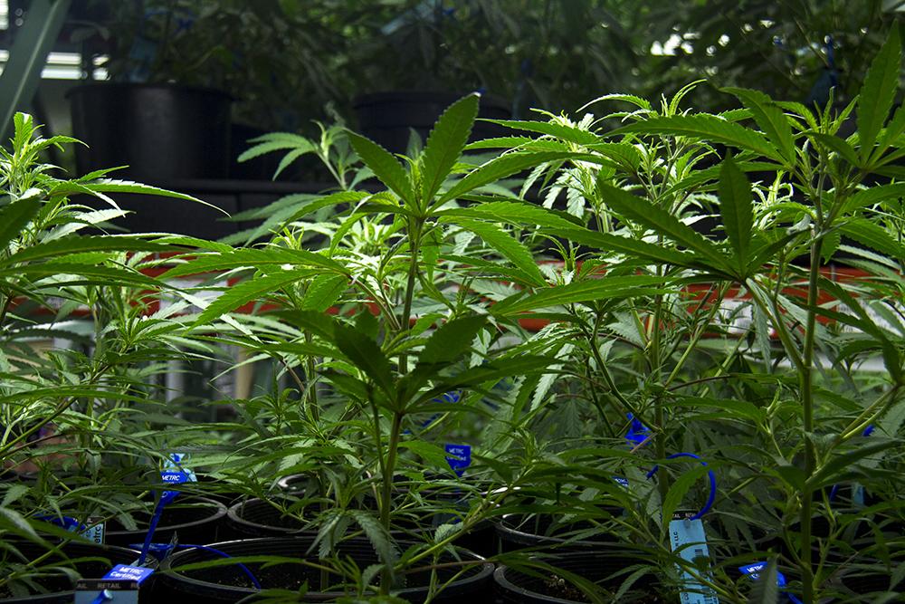 Marijuana at Verde Natural's grow facility. (Kevin J. Beaty/Denverite)  marijuana; pot; weed; verde natural; tommy chong; grow; agriculture; kevinjbeaty; denver; denverite; colorado;