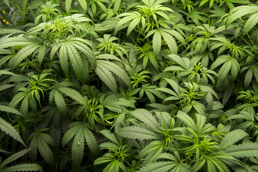 Marijuana at Verde Natural's grow facility. (Kevin J. Beaty/Denverite)