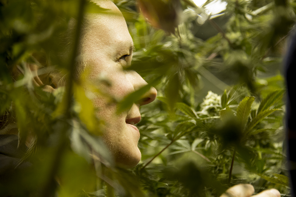Verde Natural master grower Cassandra Maffey inspects mature marijuana plants in a grow room. (Kevin J. Beaty/Denverite)  marijuana; pot; weed; verde natural; tommy chong; grow; agriculture; kevinjbeaty; denver; denverite; colorado;