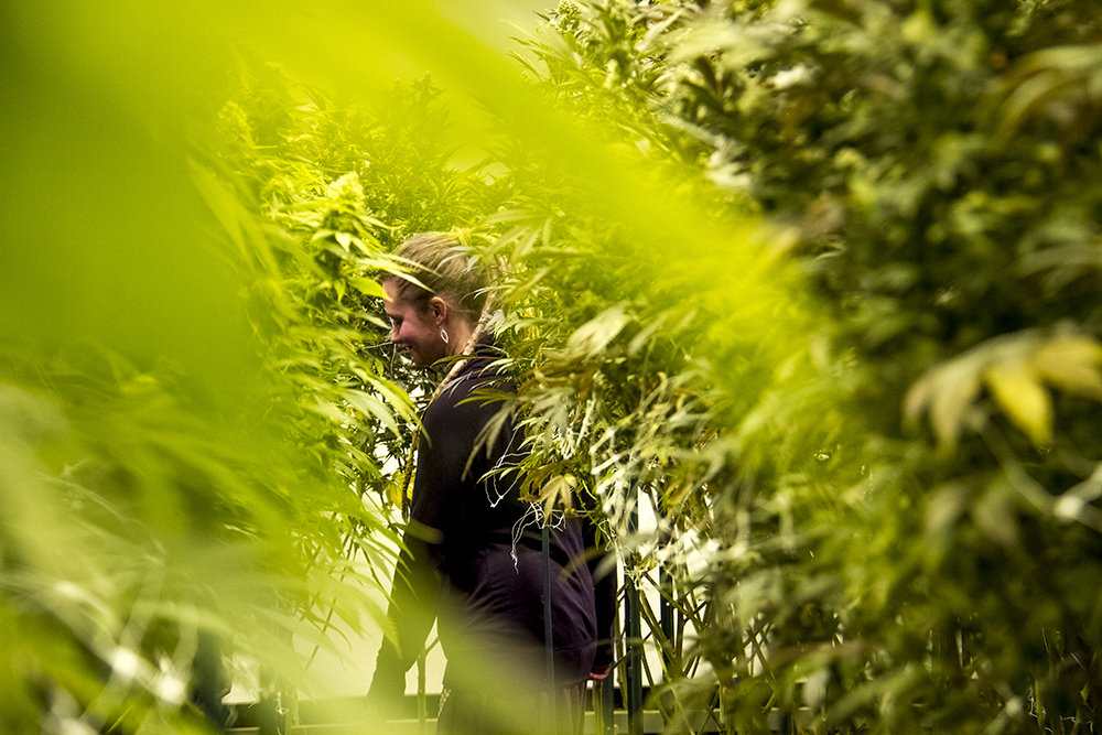 Verde Natural master grower Cassandra Maffey inspects mature marijuana plants in a grow room. (Kevin J. Beaty/Denverite)