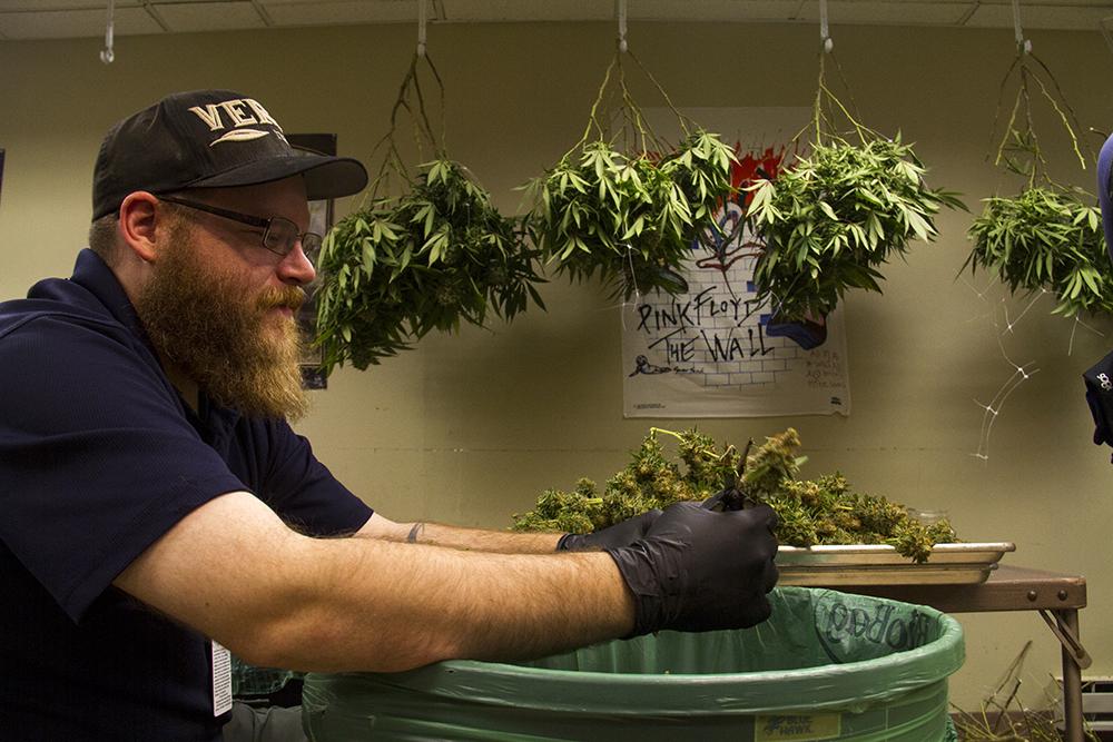Trimmer Daniel Newkirk works inside Verde Natural's grow facility. (Kevin J. Beaty/Denverite)