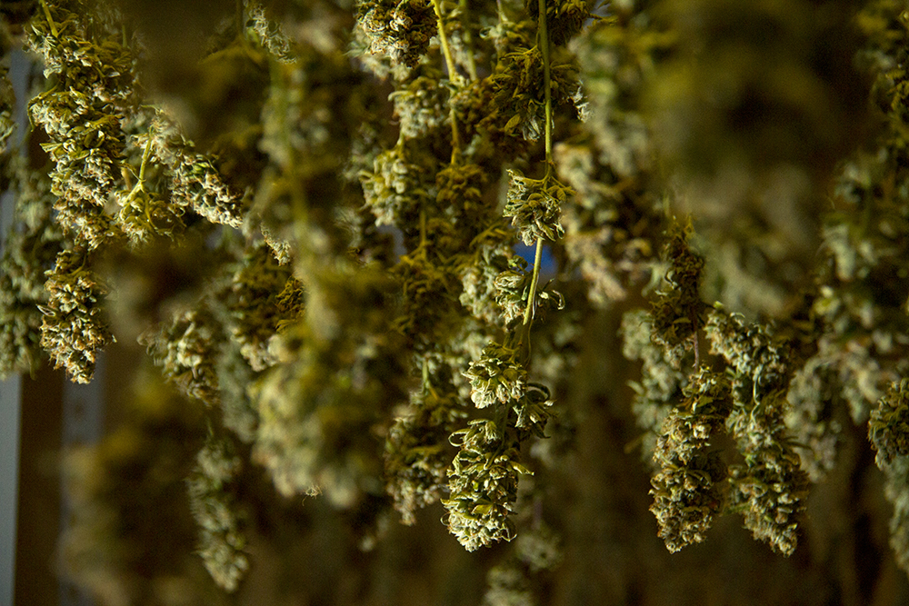 Marijuana hangs to cure at Verde Natural's Northeast Park Hill grow facility. (Kevin J. Beaty/Denverite)  marijuana; pot; weed; verde natural; tommy chong; grow; agriculture; kevinjbeaty; denver; denverite; colorado;