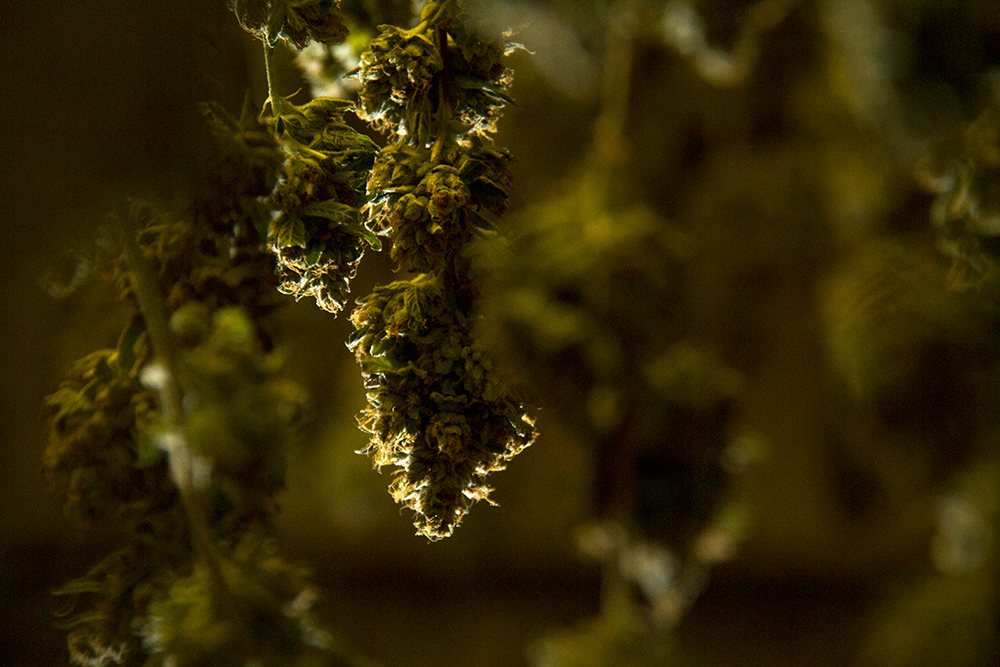 Marijuana hangs to cure at Verde Natural's Northeast Park Hill grow facility. (Kevin J. Beaty/Denverite)