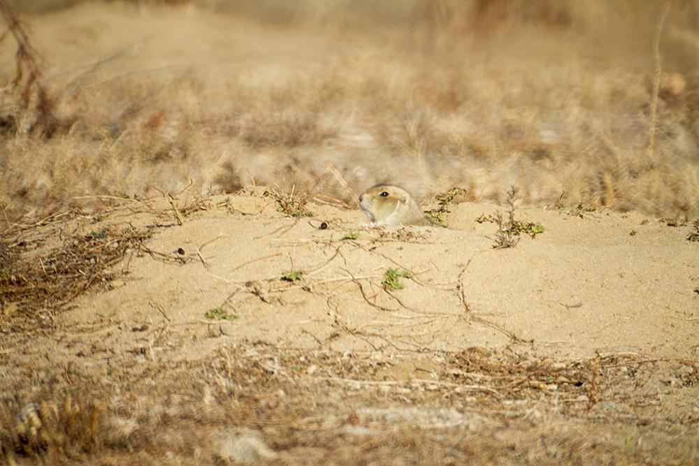 A prairie dog outside the Rocky Mountain Arsenal Wildlife Refuge. (Kevin J. Beaty/Denverite)  nature; animals; kevinjbeaty; denver; colorado; denverite;