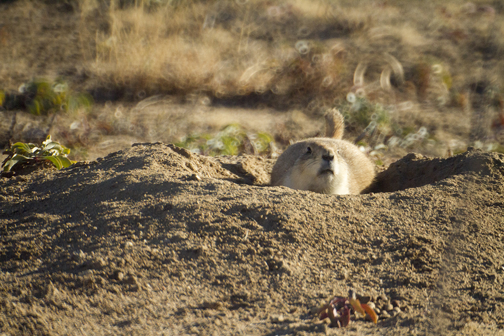 A prairie dog outside the Rocky Mountain Arsenal Wildlife Refuge. (Kevin J. Beaty/Denverite)  nature; animals; kevinjbeaty; denver; colorado; denverite;