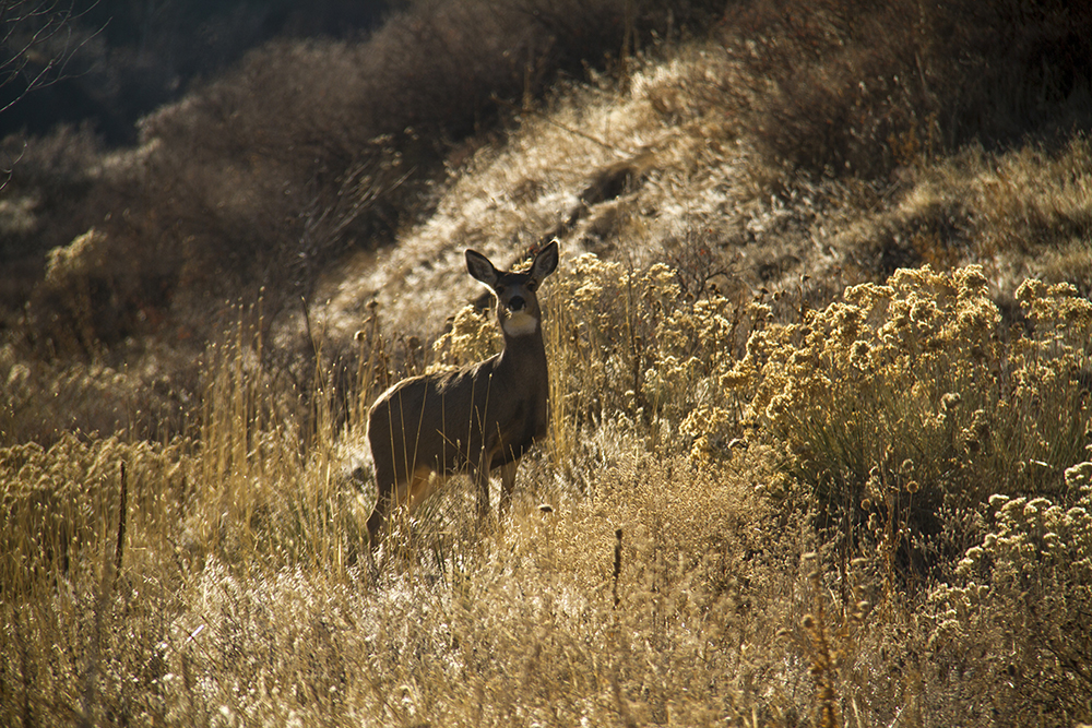 Mule deer. (Kevin J. Beaty/Denverite)  green mountain; deer; animals; kevinjbeaty; denver; denverite; lakewood; colorado