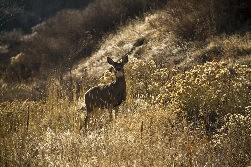 Mule deer. (Kevin J. Beaty/Denverite)  green mountain; deer; animals; kevinjbeaty; denver; denverite; lakewood; colorado