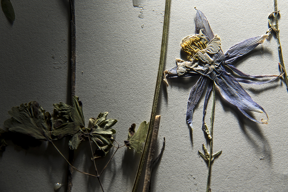 Aquilegia correa, AKA Columbine, plucked from Park County Aug. 9, 1995. (Kevin J. Beaty/Denverite)  research; science; botany; flowers; archive; denver botanic gardens; dbg; climate change; kevinjbeaty; denver; denverite; colorado;