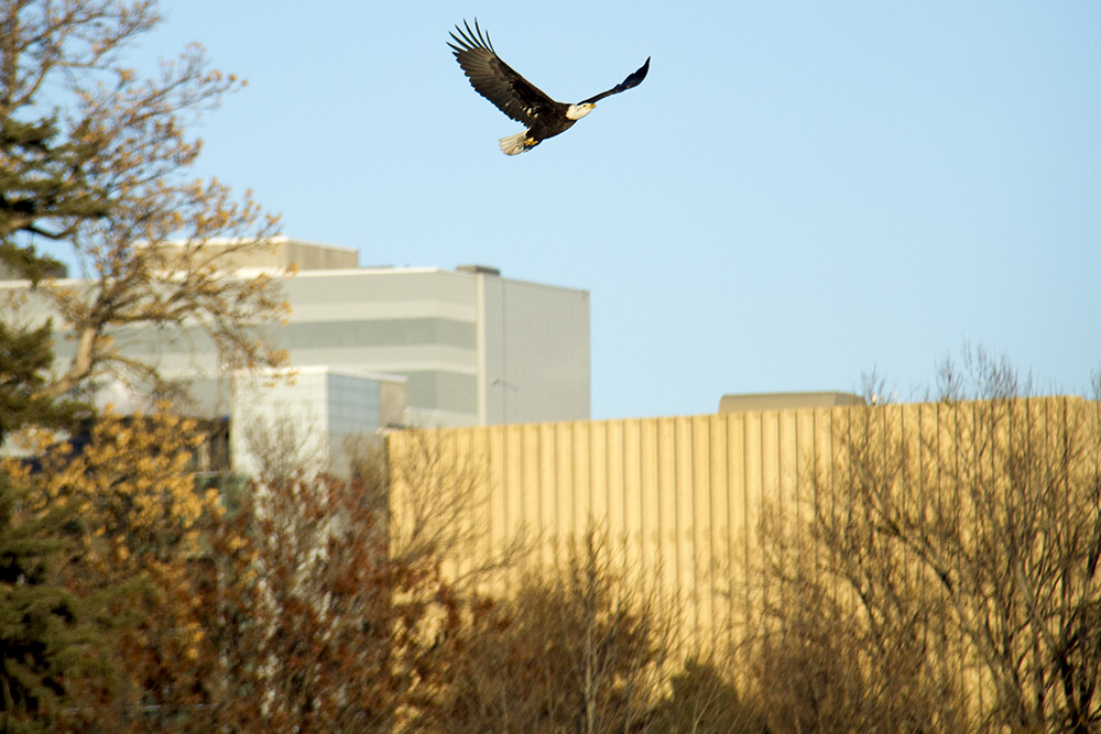 A bald eagle flies over the Denver Museum of Nature and Science in City Park. (Kevin J. Beaty/Denverite)