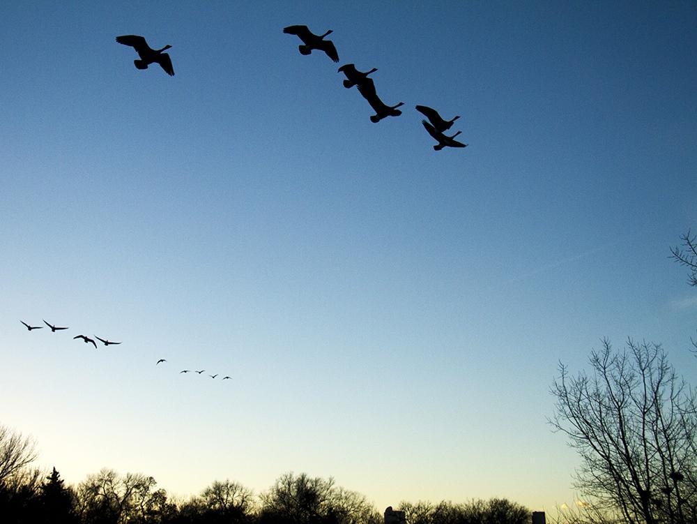 Canadian geese fly over City Park. (Kevin J. Beaty/Denverite)  animals; birds; city park; denver; denverite; colorado; winter; kevinjbeaty;