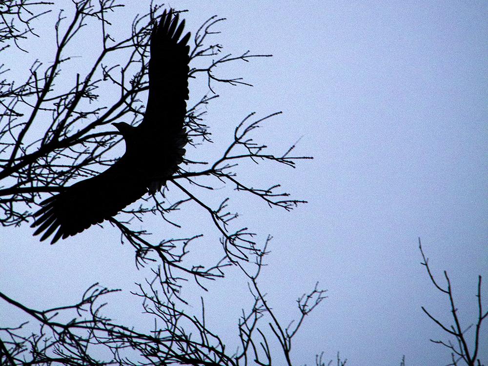 A bald eagle flies over City Park. (Kevin J. Beaty/Denverite)  animals; birds; city park; denver; denverite; colorado; winter; kevinjbeaty;
