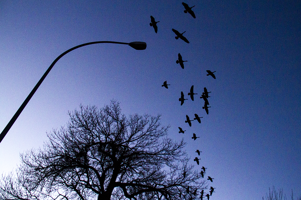 Canada geese fly over City Park. (Kevin J. Beaty/Denverite)  animals; birds; city park; denver; denverite; colorado; winter; kevinjbeaty;
