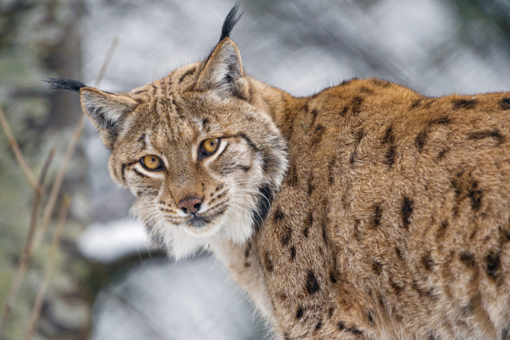 Lynx. (Tambako The Jaguar/Flickr)