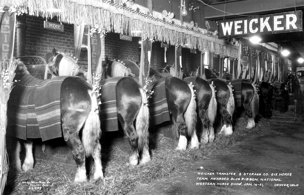 View of horses in the Weicker Transfer & Storage Company team at the National Western Stock Show in Denver, Colorado. One horse's name is Mike. 1928. (Rocky Mountain Photo Company/Denver Public Library/Western History Collection/X-24432)  denver; denverite; denver public library; western history collection; archive; archival; National Western Stock Show; nwss;