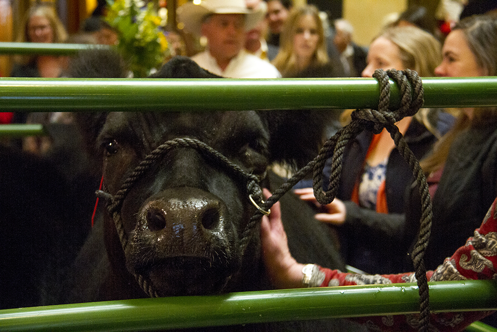 FU the prize-winning National Western Stock Show steer at tea time at the Brown Palace. Jan. 20, 2017. (Kevin J. Beaty/Denverite)