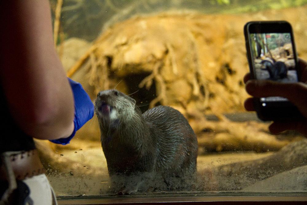 Otters at the Denver Zoo, Jan. 25, 2017. (Kevin J. Beaty/Denverite)  otters; denver zoo; animals; denver; denverite; colorado; kevinjbeaty;